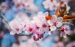 Tavasz, szilvafa, makró