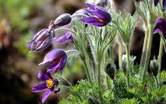 tavaszi virág kökörcsin vadvirág tavasz