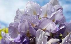 tavaszi virág akácvirág vízcsepp