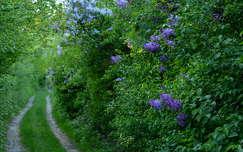 tavaszi virág út orgona