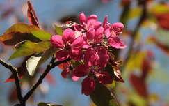 gyümölcsfavirág