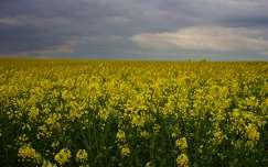 repceföld virágmező tavasz repce