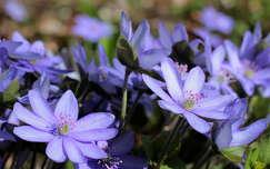 tavaszi virág vadvirág nemes májvirág tavasz
