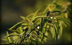 gyümölcs mandula