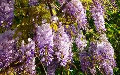 akácvirág tavasz