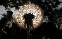 pitypang fény vadvirág