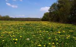 pitypang vadvirág virágmező tavasz