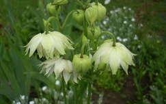 Harangvirág,tavasz