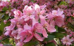 virágzó fa gyümölcsfavirág
