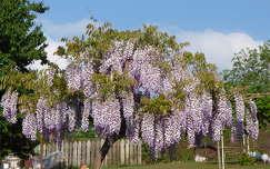 tavaszi virág akácvirág tavasz virágzó fa