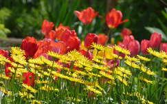 tavaszi virág zergevirág tulipán