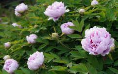 Zalai pünkösdi rózsa, paeonia