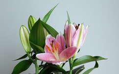 virág, ázsiai liliom, magyarország