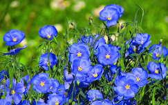 tavaszi virág vadvirág tavasz lenvirág