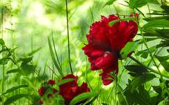 tavaszi virág pünkösdi rózsa tavasz