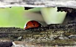rovar katicabogár