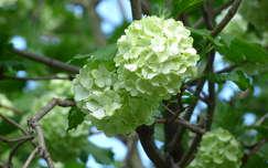 tavaszi virág labdarózsa