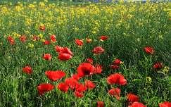 repce virágmező pipacs