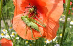 szöcske rovar pipacs
