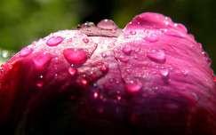 bimbó pünkösdi rózsa tavaszi virág vízcsepp