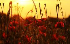 vadvirág pipacs naplemente