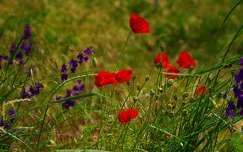 pipacs szarkaláb vadvirág