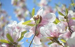 tavaszi virág magnólia