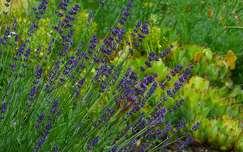 levendula vadvirág