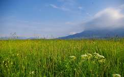 vadvirág mező