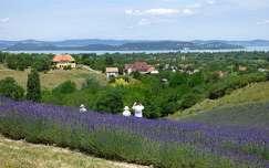 magyarország nyár vadvirág levendula virágmező