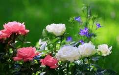 nyár nyári virág rózsa