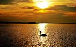 vizimadár hattyú naplemente