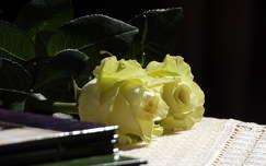 bimbó rózsa