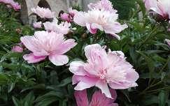 Bory vár, Pünkösdi rózsa