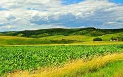 nyár kukoricaföld