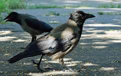 madár varjú