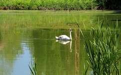 nyár hattyú tó tükröződés vizimadár