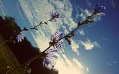 mezei katáng vadvirág