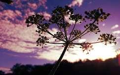 naplemente vadvirág