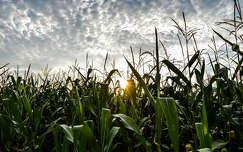 Kukoricaföld, nyár