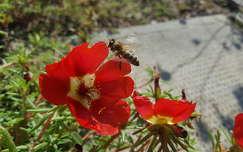 rovar méh kukacvirág