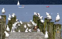 balaton sirály tó vizimadár magyarország