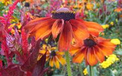 nyári virág kúpvirág