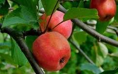 ősz, gyümölcs, magyarország
