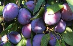 ősz gyümölcs szőlő