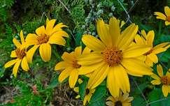 sárga virág, ősz, magyarország