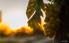 ősz gyümölcs szőlő naplemente