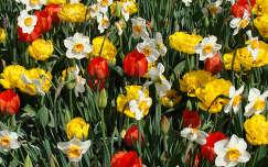 tavaszi viragok  ,tulipan,narcisz