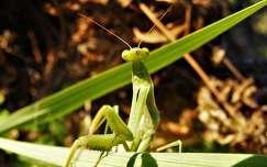 imádkozósáska rovar