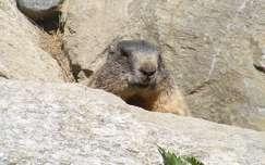 Mormota a Tiroli hegyekben